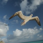 Redfooted Booby