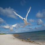 White terns on Laysan Island