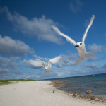 White terns on Laysan Island
