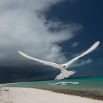 White terns flying on Midway Atoll