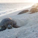 Basking Hawaiian Green Sea Turtles