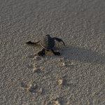 Crawling Hawaiian Green Sea Turtle Hatchling