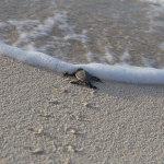 Hawaiian Green Sea Turtle Hatchling
